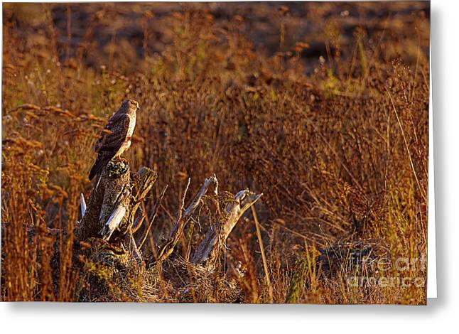 Greeting Card featuring the photograph Northern Harrier At Sunset by Sharon Talson