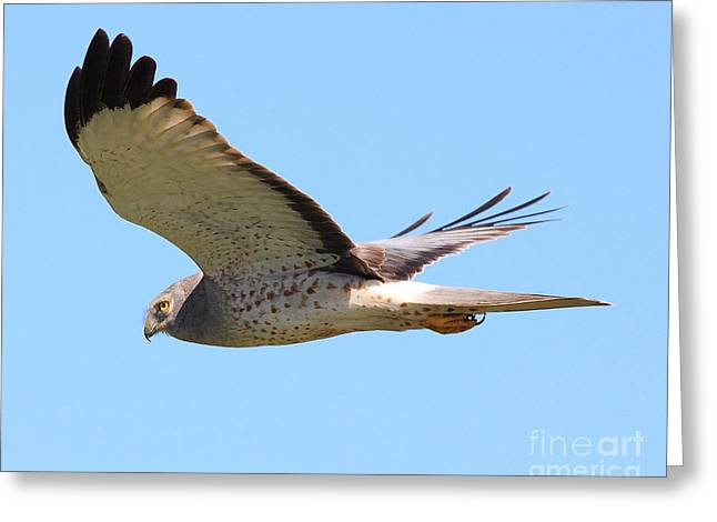 Northern Harrier In Flight Greeting Card by Wingsdomain Art and Photography