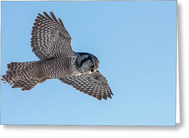 Greeting Card featuring the photograph Northern Hawk Owl Hunting by Mircea Costina Photography