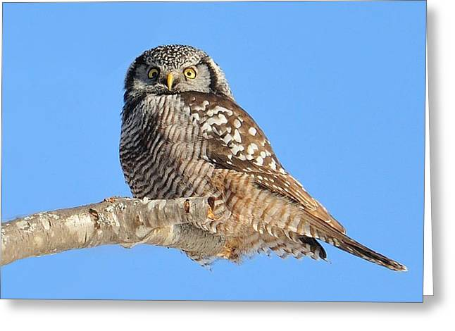 Northern Hawk-owl On Limb Greeting Card