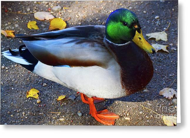 Northern Male Mallard Duck Greeting Card