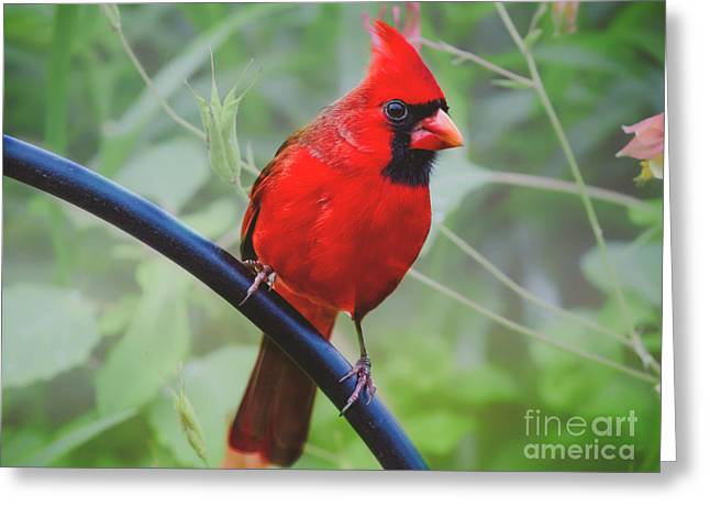 Northern Male Red Cardinal Bird Greeting Card