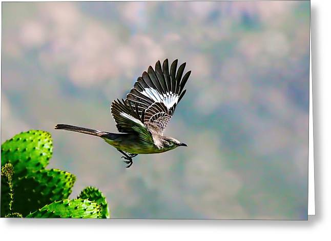 Northern Mockingbird Flying Greeting Card by Dan Redmon