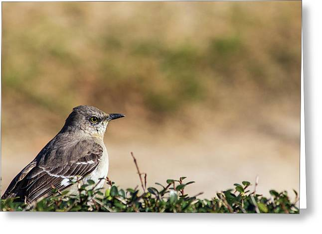 Greeting Card featuring the photograph Northern Mockingbird Sitting On Top Of A Hedge by Randy Bayne