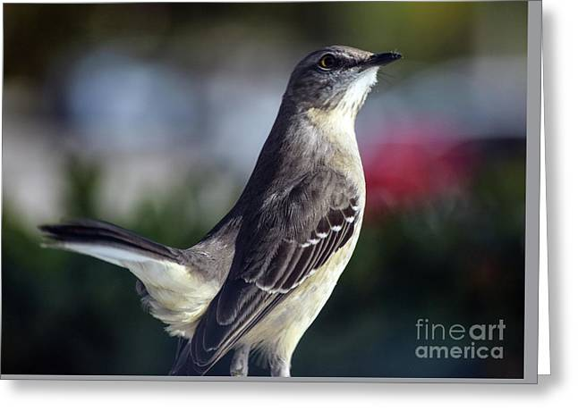 Northern Mockingbird Up Close Greeting Card