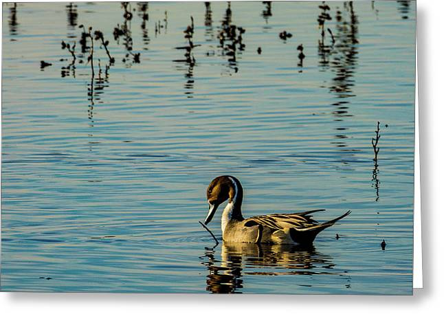 Northern Pintail At The Wetlands Greeting Card