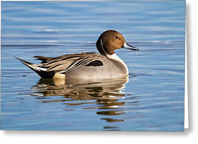 Northern Pintail Duck Greeting Card