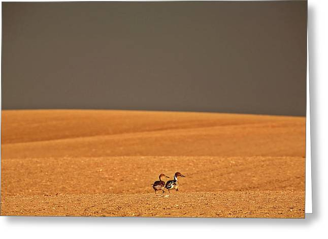 Northern Pintail Pair Out Walking In Saskatchewan Field Greeting Card