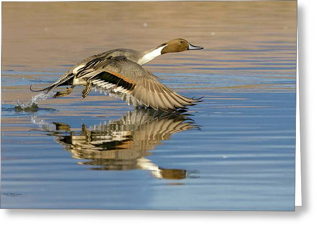 Northern Pintail With Reflection Greeting Card