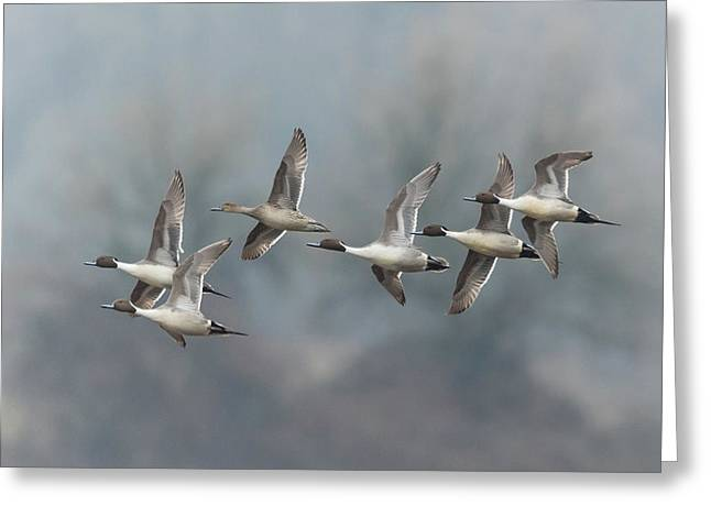 Greeting Card featuring the photograph Northern Pintails In Flight by Angie Vogel