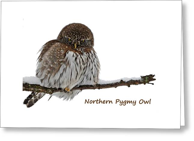 Northern Pygmy Owl 2 Greeting Card