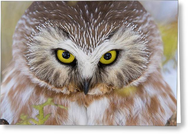 Greeting Card featuring the photograph Northern Saw-whet Owl Portrait by Mircea Costina Photography
