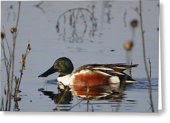 Northern Shoveler Greeting Card by Andrew Johnson