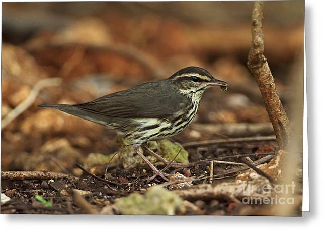 Northern Waterthrush In Cuba Greeting Card by Neil Bowman/FLPA