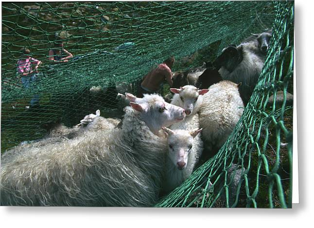 Norway, Sheeps In Net, Close-up Greeting Card by Keenpress