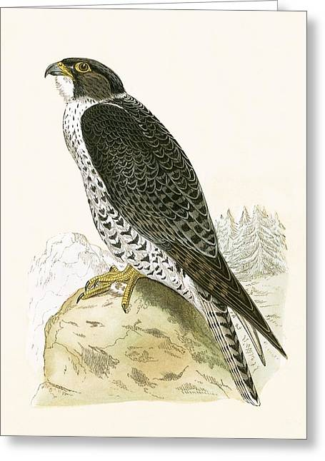 Norwegian Jer Falcon Greeting Card by English School