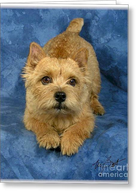 Norwich Terrier Pup Greeting Card by Maxine Bochnia