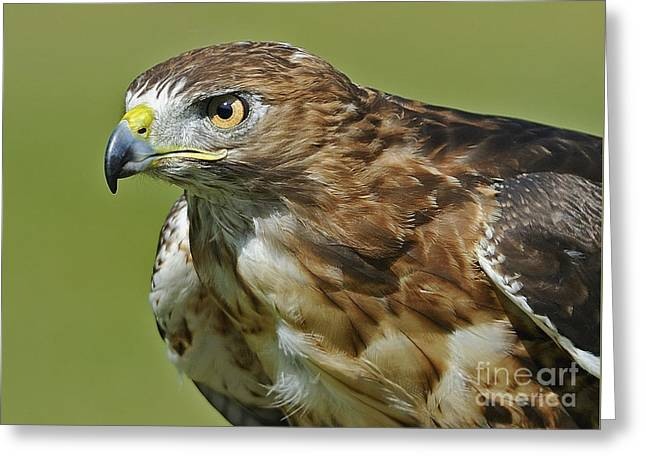 Not Chicken This Hawk... Greeting Card