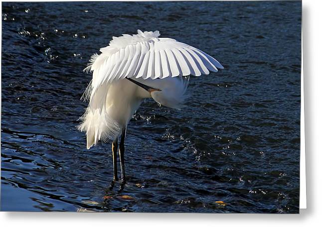 Not Under Here - Birds - Snowy Egret Greeting Card by HH Photography of Florida