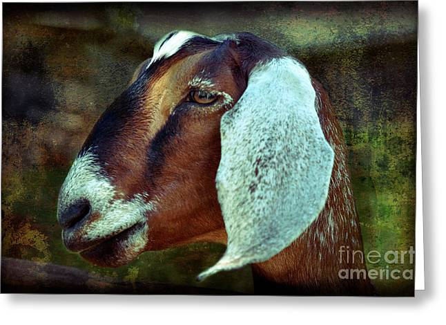Nubian Goat Greeting Card