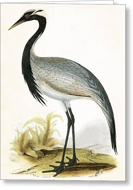 Numidian Crane Greeting Card by English School