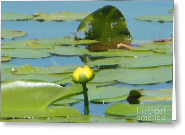 Nuphar Lutea Yellow Pond Greeting Card