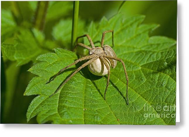 Nursery Web Spider Greeting Card