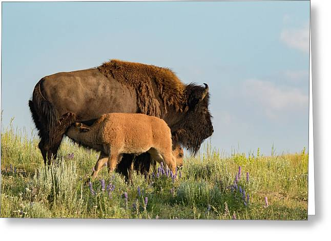 Nursing Bison Family Greeting Card by Andrew Wells