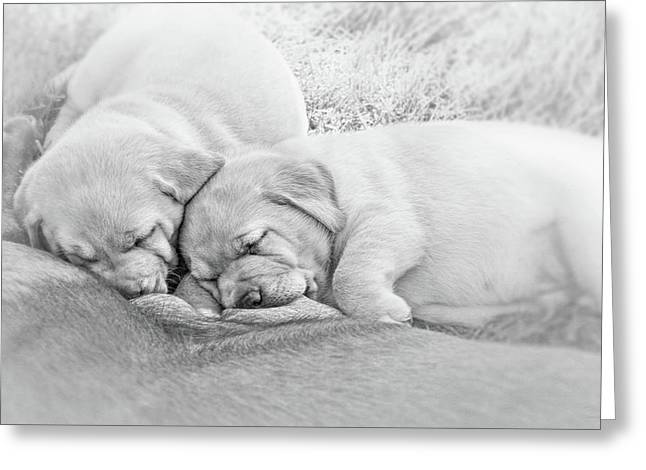 Greeting Card featuring the photograph Nursing Labrador Retriever Puppies Black And White by Jennie Marie Schell