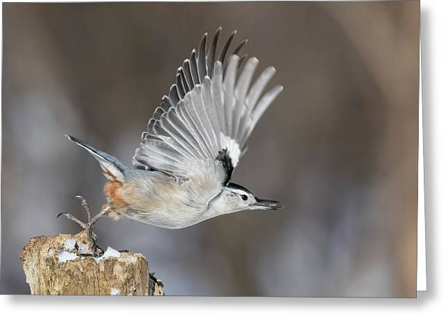 Greeting Card featuring the photograph Nuthatch In Action by Mircea Costina Photography