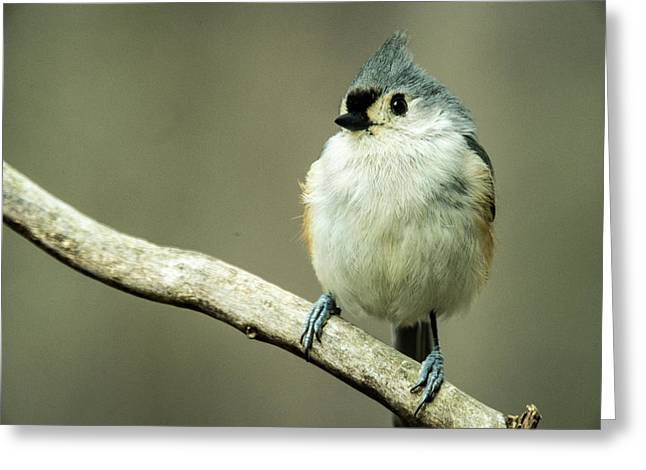 Titmouse Thinking About Weighty Matters Greeting Card by Douglas Barnett
