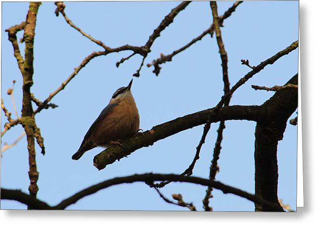Nuthatch With Head High Greeting Card by Adrian Wale