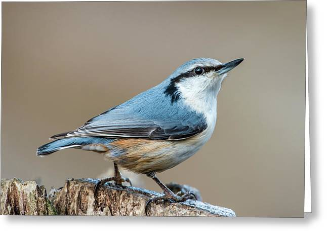 Greeting Card featuring the photograph Nuthatch's Pose by Torbjorn Swenelius