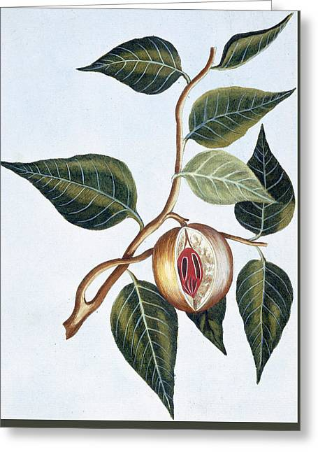 Nutmeg Greeting Card by Pierre-Joseph Buchoz