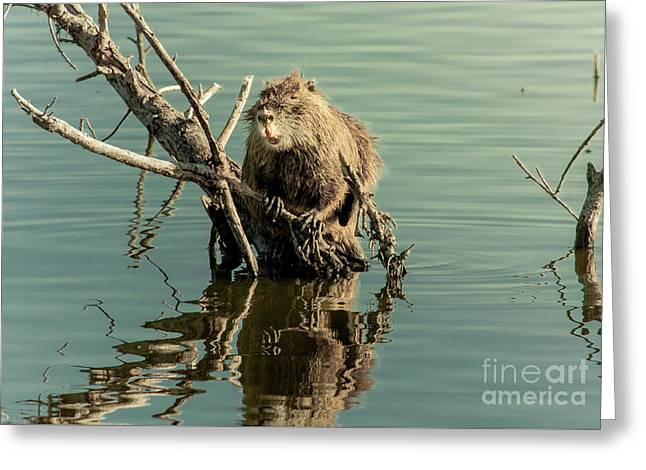 Greeting Card featuring the photograph Nutria On Stick-up by Robert Frederick
