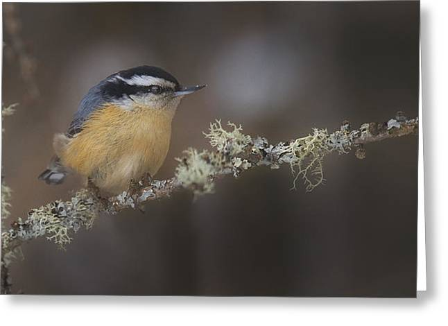 Nuts About Nuthatches Greeting Card