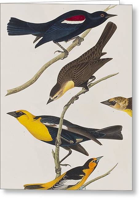 Nuttall's Starling Yellow-headed Troopial Bullock's Oriole Greeting Card by John James Audubon