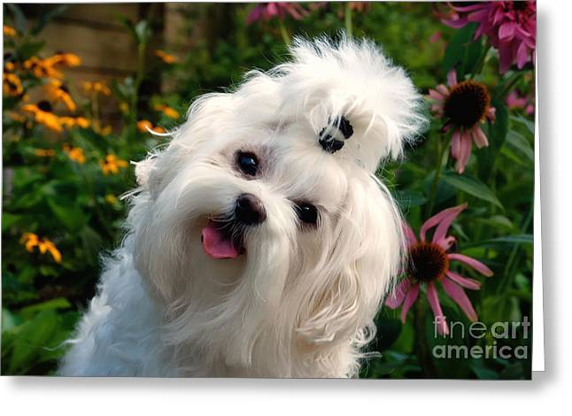 Maltese Photographs Greeting Cards - Nuttin But Love Greeting Card by Lois Bryan