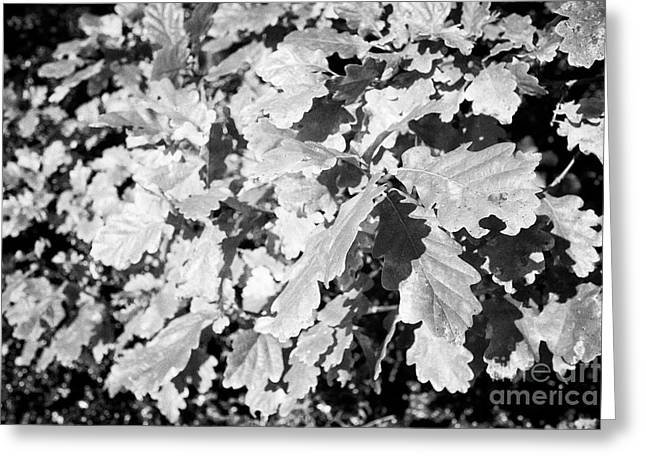 Oak Leaves Starting To Turn In Autumn Sunshine Greeting Card by Joe Fox