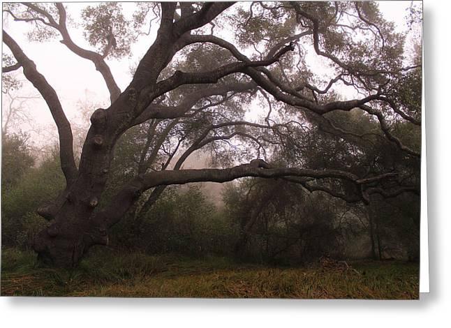 Oak Sentinel With Coastal Fog Greeting Card by Robin Street-Morris