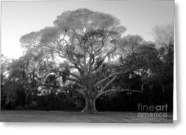 Oak Tree Greeting Card by David Lee Thompson