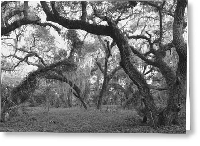 Oak Trees In A Forest, Lake Kissimmee Greeting Card by Panoramic Images