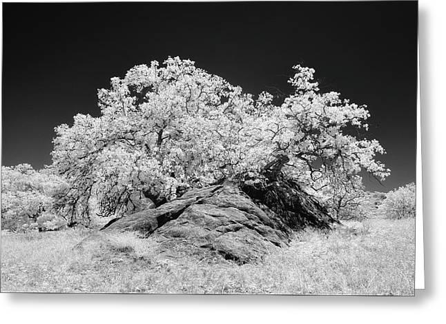 Oak With Boulder I Greeting Card
