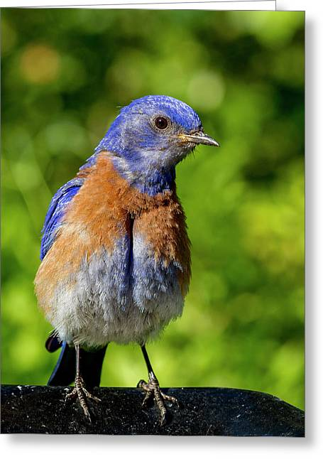 Obese Bluebird Greeting Card