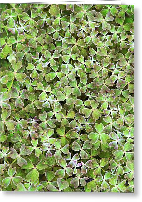 Oca Leaves Greeting Card by Tim Gainey