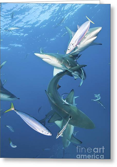 Oceanic Blacktip Sharks With Remora Greeting Card