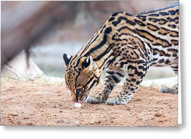 Ocelot And Egg Greeting Card
