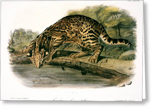 John James Audubon Greeting Cards - Ocelot (felis Pardalis) Greeting Card by Granger
