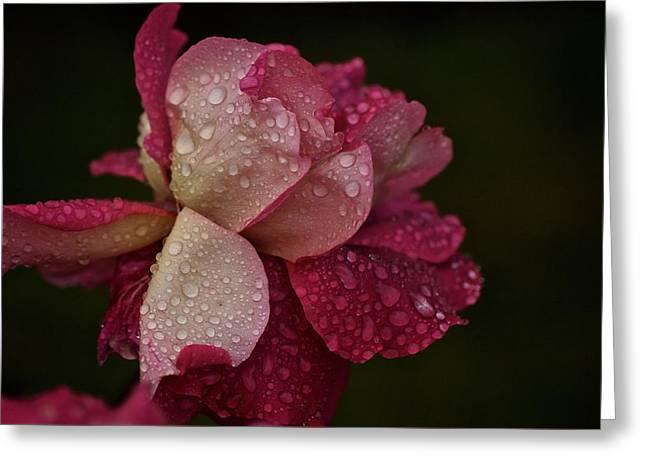 October Rose In The Rain Greeting Card
