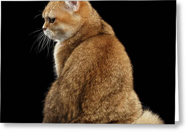offended British cat Golden color Greeting Card